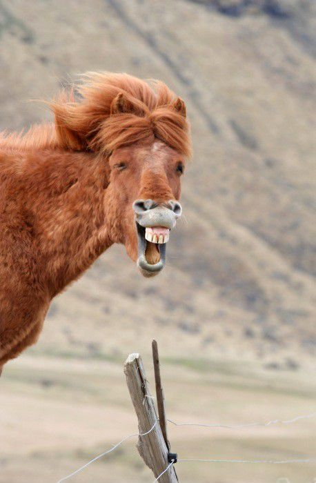 cheval-rire.jpeg