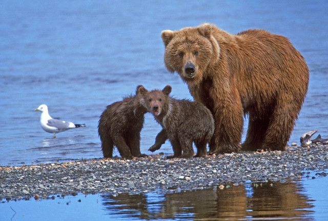 ours-Grizzly_Bear_mother_cubs.jpg