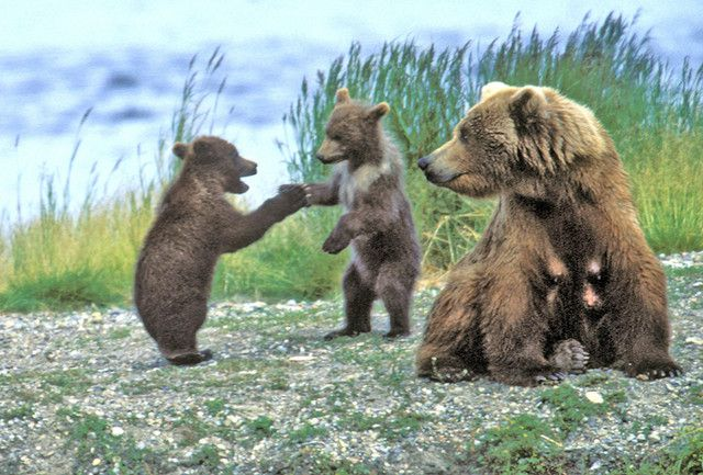 ours-Grizzly_mother_watchs_cubs_play.jpg