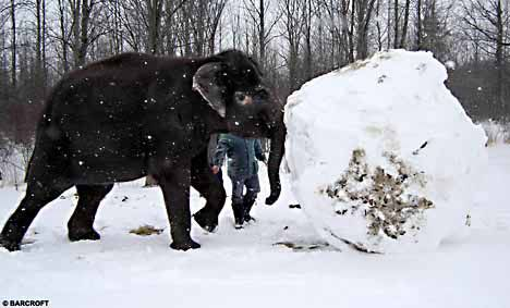 elephant_snowballs_1-copie-1.jpg