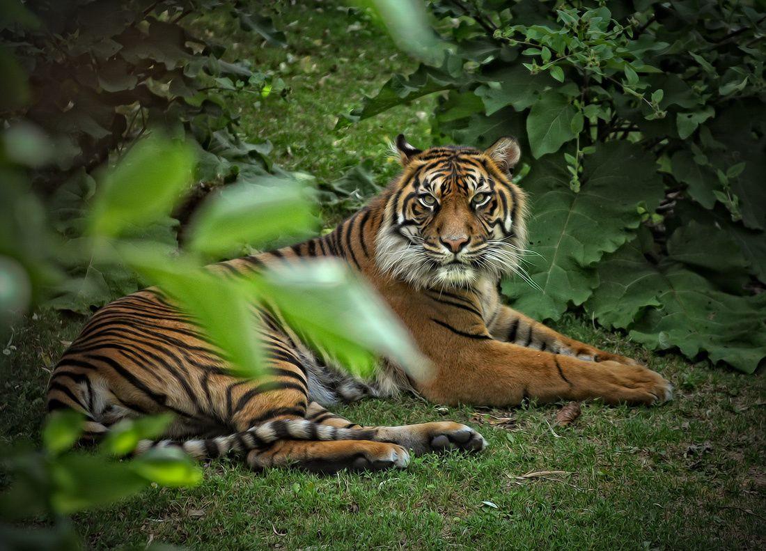 Tigre-1100