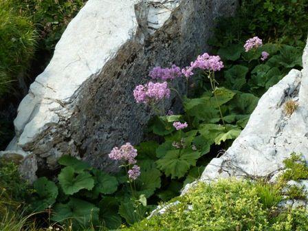 08 Août Adénostyle à feuilles d'alliaire - Savoie