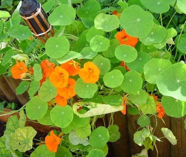 790----w.e.-au-jardin--capucines-orange-21.jpg