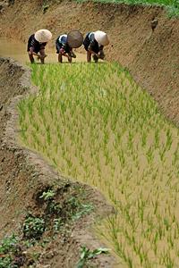 Plantage-du-riz.png