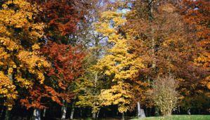 Hêtres, Erables, chênes entre ambres et pourpres...