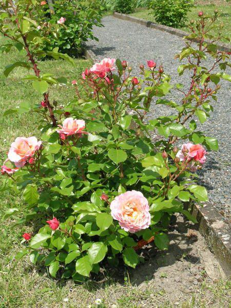 Album - Roses de juin