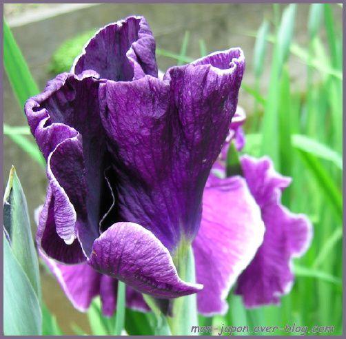 iris-kamakura-7.jpg