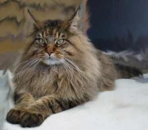 maine_coon_merlin