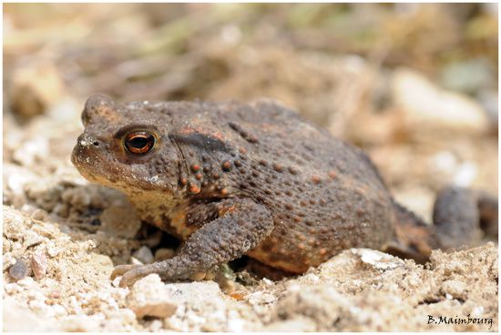crapaud commun-bufo bufo-villers-st-sepulcre