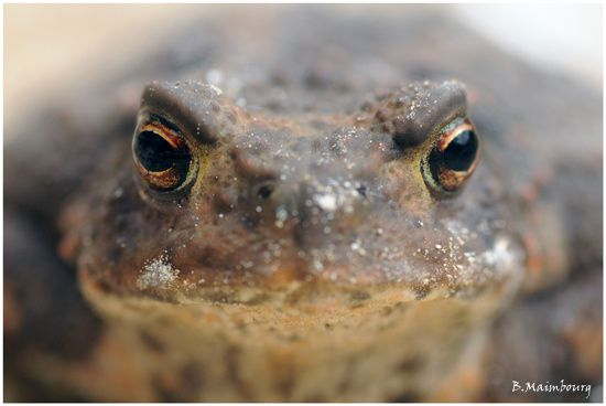 crapaud commun-bufo bufo-villers-st-sepulcre2