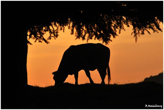 vache-ombre chinoise-coucher de soleil-pyrenees-Payolle