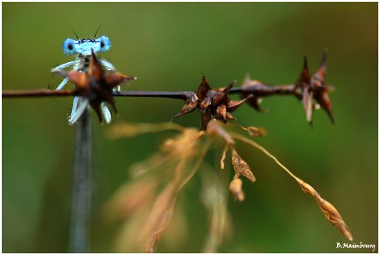 agrion-payolle-hautes-pyrenees