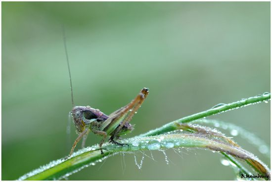 decticelle bariolee-metrioptera roeseli-orthoptere-Oleron