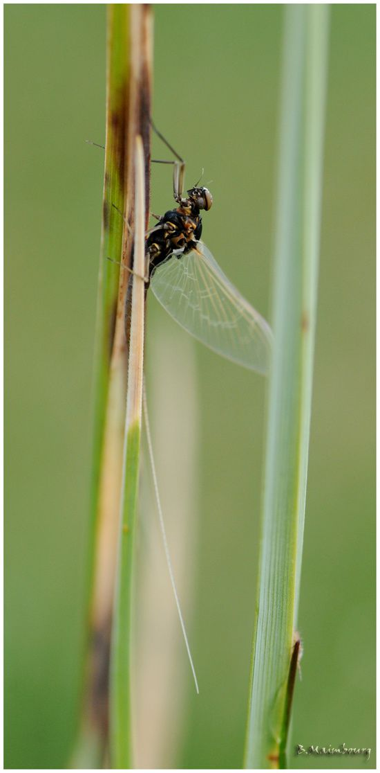 ephemere-ephemeroptere-ephemeroptera-Baetide-Baetidae-Baeti