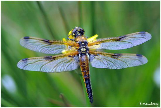 libellule a quatre taches-libellula quadrimaculata-copie-1