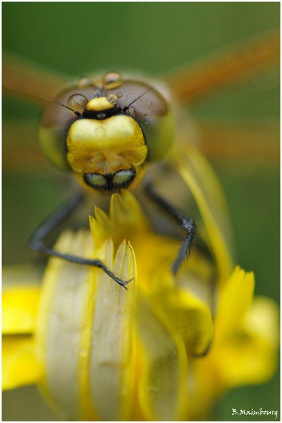 libellule a quatre taches-libellula quadrimaculata-odonate-