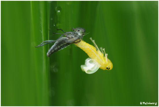 Cicadelle-emergence-marais de Berthecourt