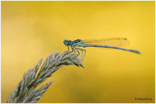 agrion-payolle-pyrenees-2