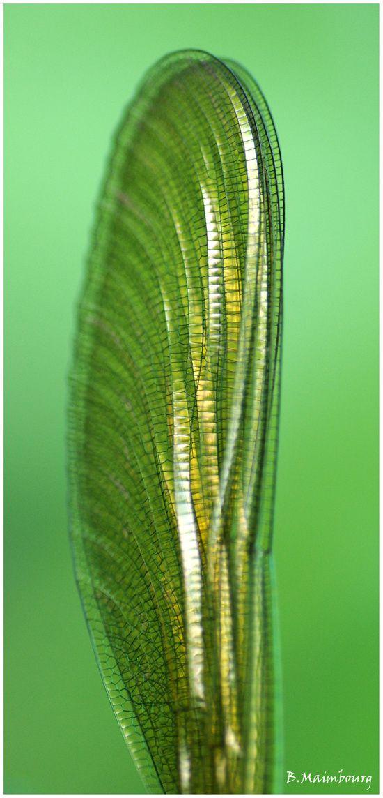 aile de calopteryx-detail-libellule-marais de Villers