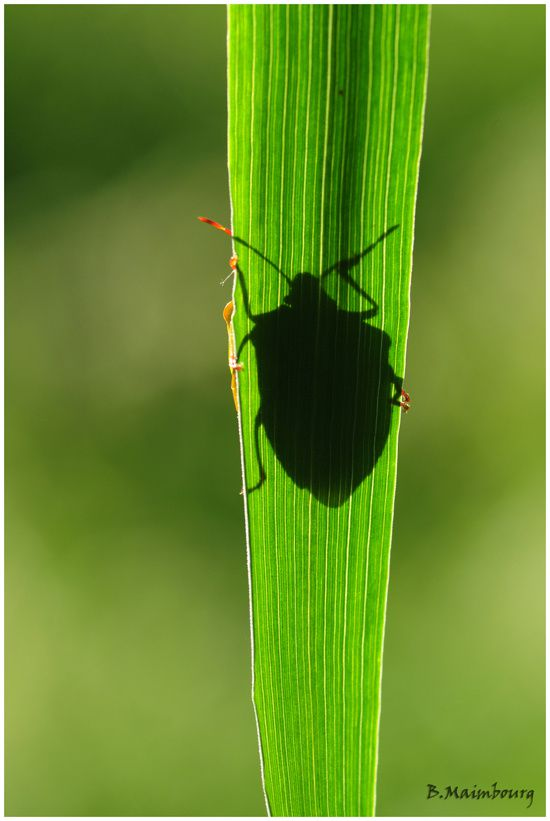 ombre-punaise-Villers-herbe-coleoptere
