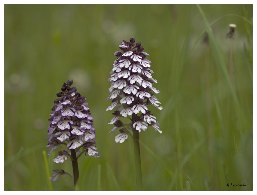 orchis-pourpre-copie-7.jpg