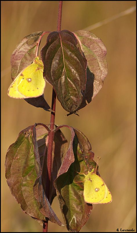 Papillons - Chenilles