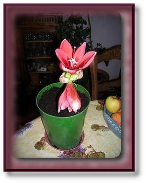 L 39 amaryllis coincoin et coincouinette for Amaryllis rouge signification