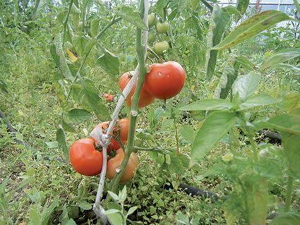 fete-de-la-tomate.jpg