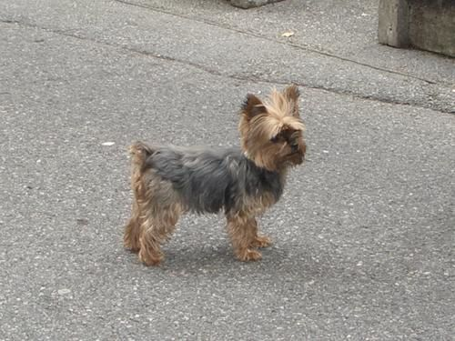Chl o la petite yorkshire terrier mes amours de yorks - Modele de coupe pour yorkshire terrier ...