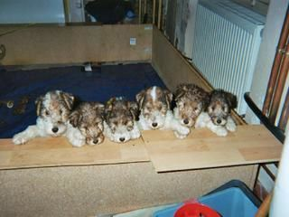 Le frre et les soeurs de Tilt,chiots fox terrier  poil dur,