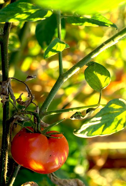tomate pied