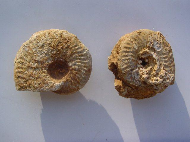 Fresney-le-Puceux-Bajocien-ammonites-indet-1A-6cms