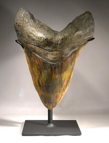 megalodon tooth display1-fake