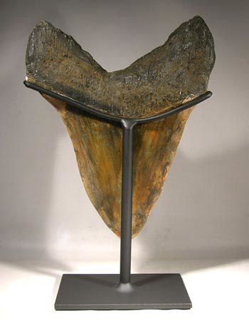 megalodon tooth display2-fake