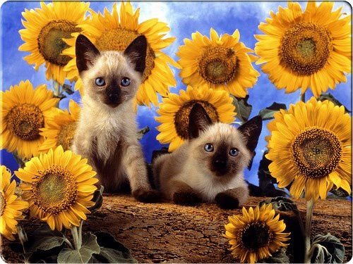two-cute-cats-in-sunflower-backgrounds.jpg
