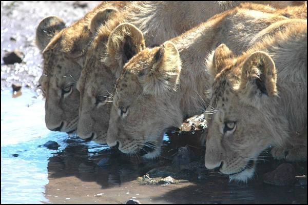 4lions-drinking.jpg