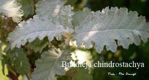 buddleja-chindrostachya.jpg