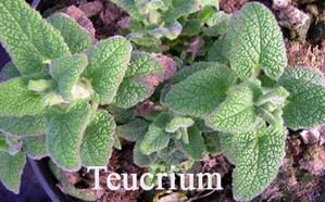 teucrium-madere.jpg