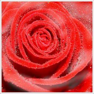 rose_rosee.jpg