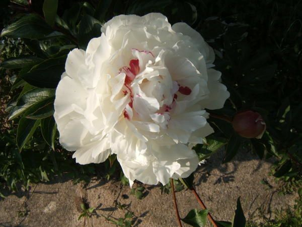 rosiers blancs