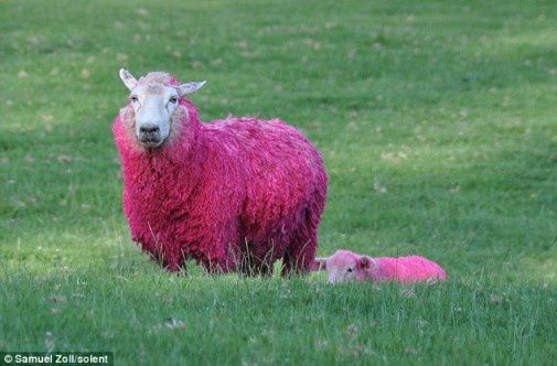 pink-sheep-in-new-zealnd-sheepworld-505x332.jpg