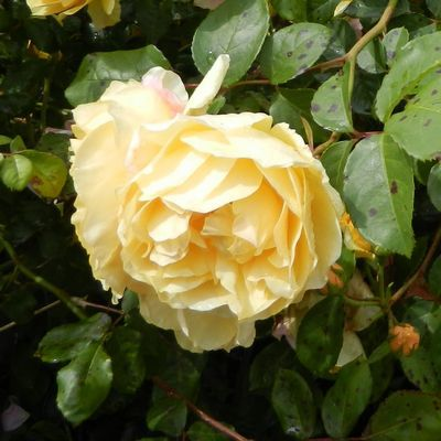 tn rose15