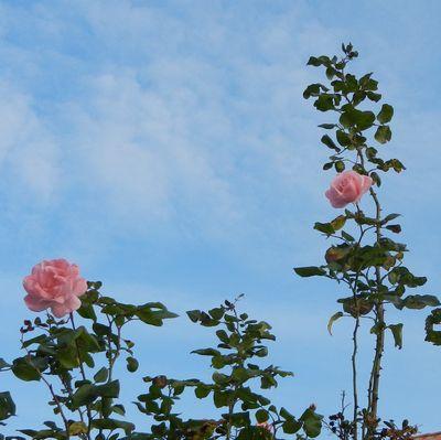 tn Rose33