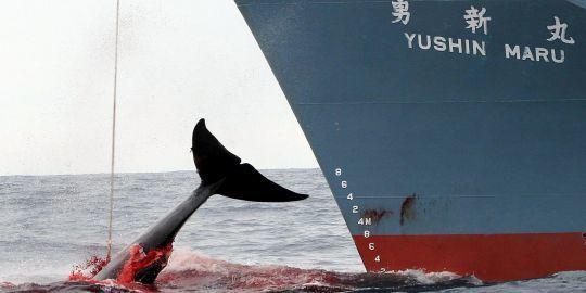 navire-japonais-capture-une-baleine.jpg