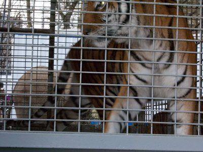 Europe-cirque-tigre-dec11