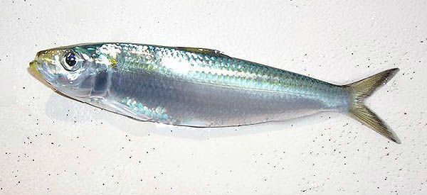 SARDINE sardina pilchardus