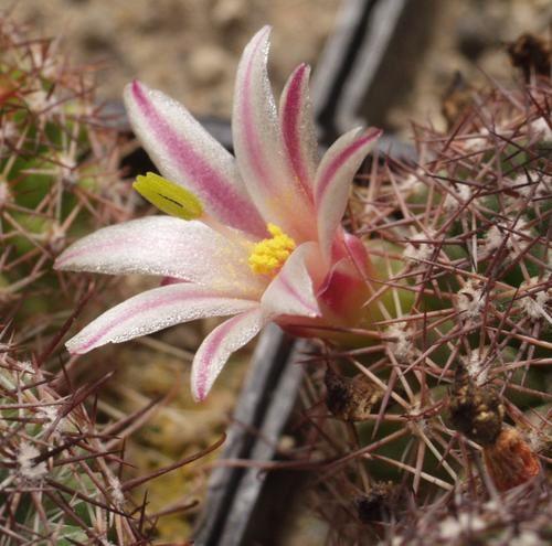 Mammillaria-dioica-SB-1602-MG-621-62-97-Bj2.jpg