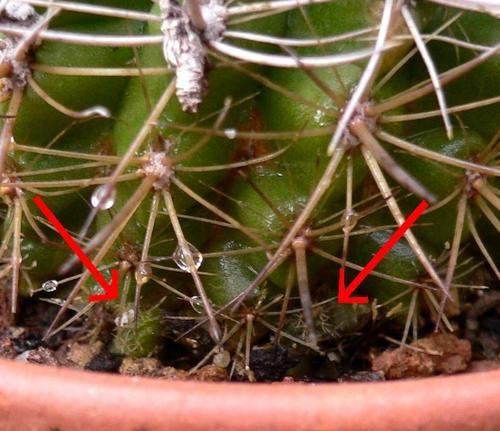 Semis-Eriosyce-subgibbosa-wagenknechtii-octobre-07-1.jpg