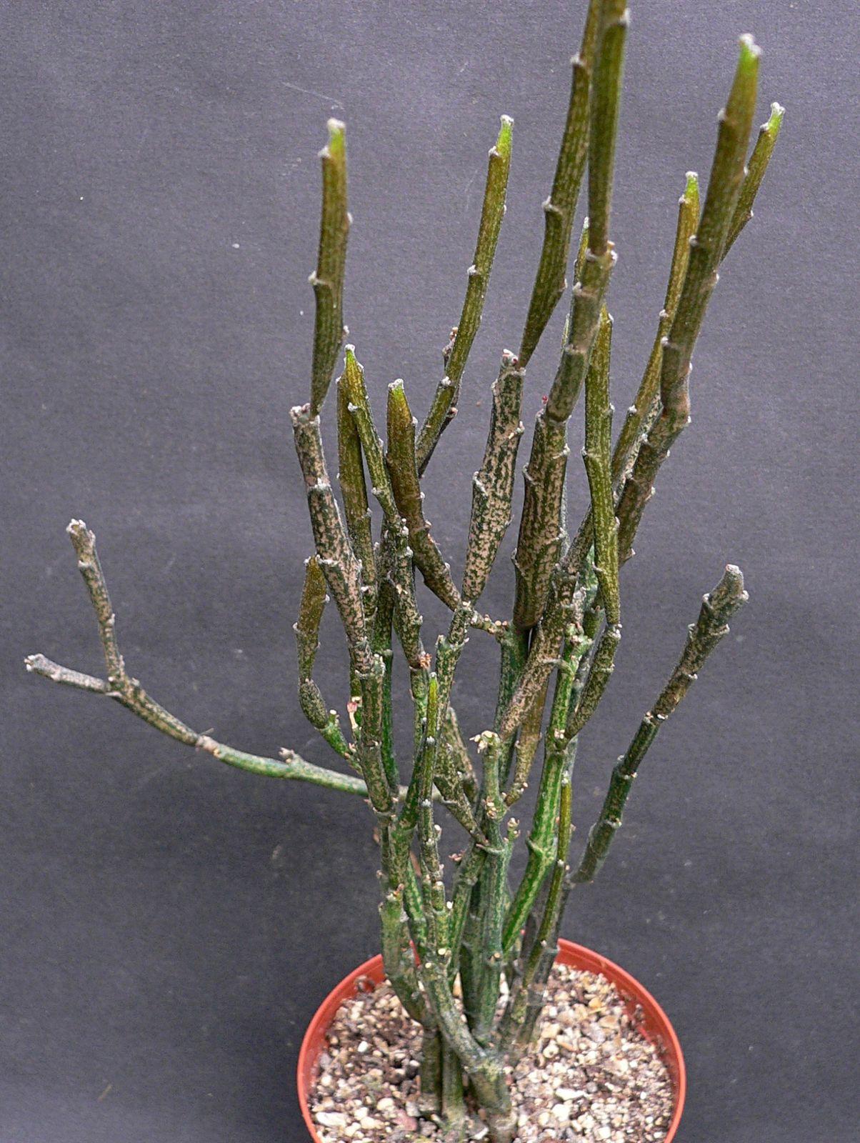 Principalement des euphorbes succulentes sont présentées ici. Ce sont des plantes très variées et à l'architecture des tiges très esthétique.
