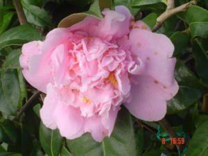 Cam lias bienvenue chez camelia for Quand planter un rhododendron